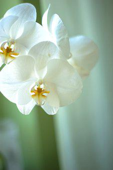 Orchids, Flowers, Plant, White Flowers, Moth Orchids