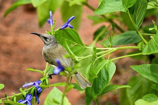 Honeyeater, Bird, Garden, Brown Honeyeater, Small Bird