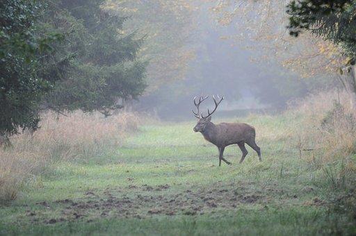 Hirsch, Antler, Trees, Forest, Pasture, Rutting Season