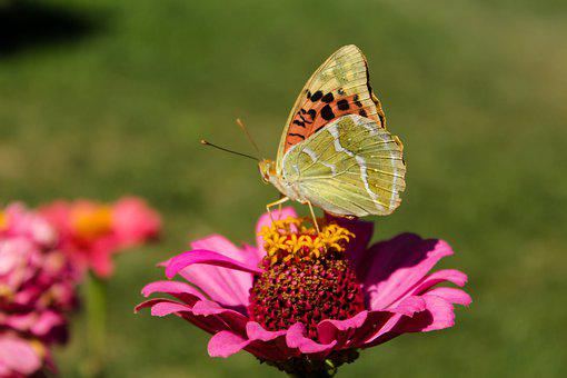 Butterfly, Insect, Zinnia