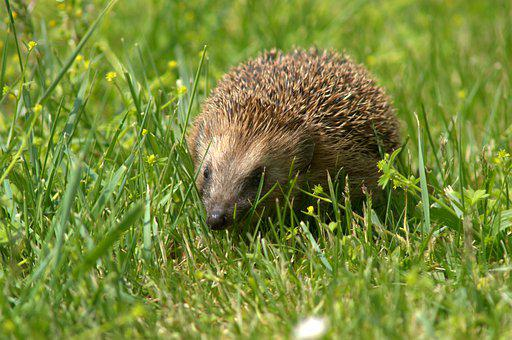 Hedgehog, Animal, Meadow, European Hedgehog