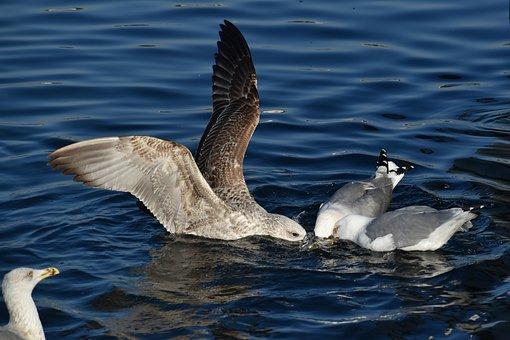 Seagulls, Gulls, Birds, Sea, Nature, Wings, Fishing