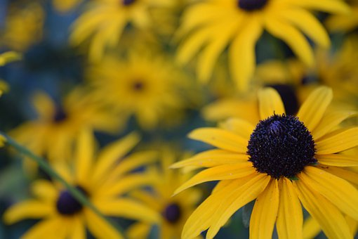 Coneflowers, Flowers, Bloom, Blossom, Yellow Flowers