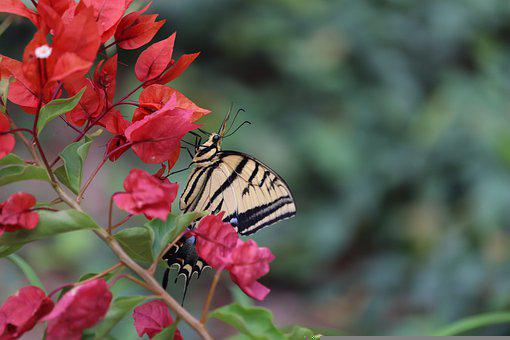 Butterfly, Insect, Bougainvillea, Flowers