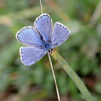 Common Blue, Butterfly, Wings