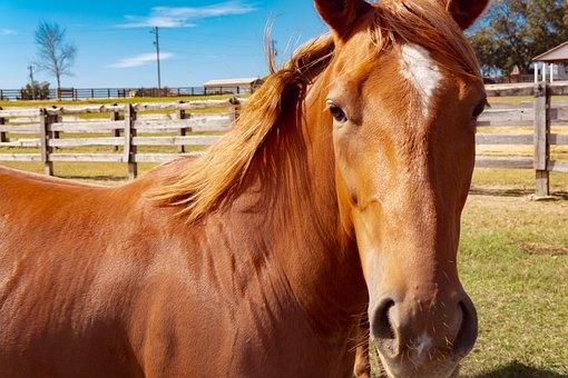 Horse, Portrait, Brown, Chestnut, Equine, Horses