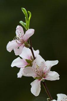 Flowers, Plant, Chinese Wild Peach, Prunus Davidiana