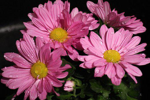 Chrysanthemums, Flowers, Dew, Dewdrops, Droplets