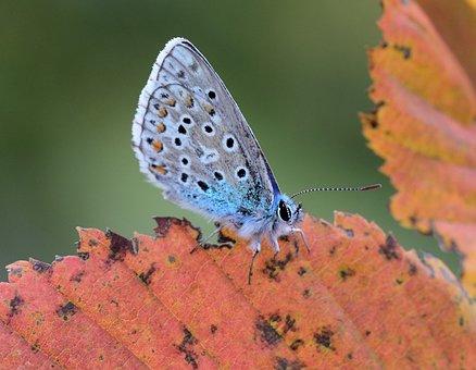 Common Blue, Butterfly, Wings, Butterfly Wings
