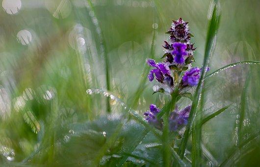 Bugleweed, Flower, Dew, Dewdrops, Droplets, Ground Pine