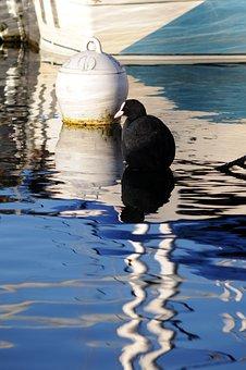 Eurasian Coot, Bird, Lake, Common Coot