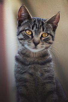 Cat, Feline, Cat's Eyes, Tabby, Gray Tabby, Gray Cat