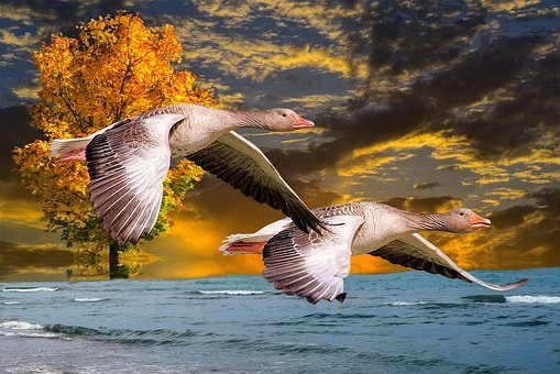 Geese, Bird, Scenic, River, Nature, Animals, Flying