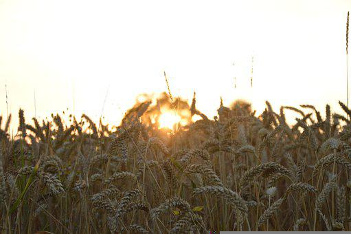 Sunshine, Wheat Crops, Farm, Grain, Summer, Cereals