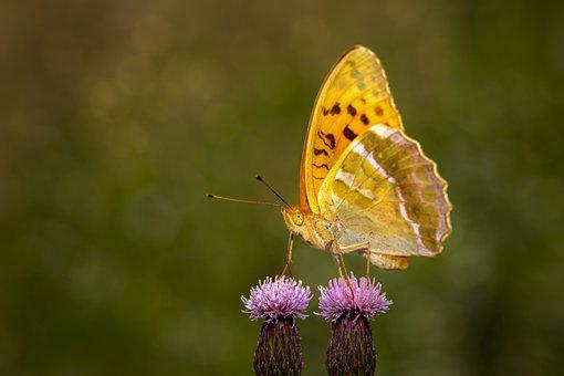 Butterfly, Insect, Thistle, Pallas Fritillary