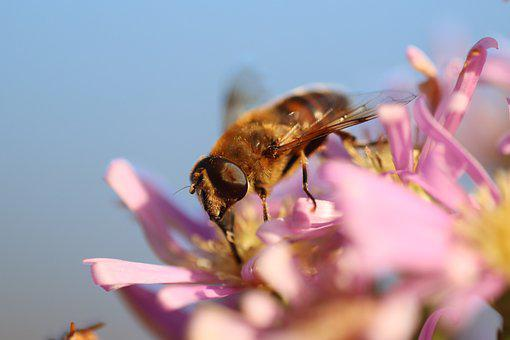 Hover Fly, Fly, Insect, Wings, Flower, Petals, Nature