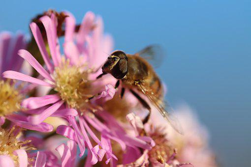 Hover Fly, Fly, Insect, Wings, Flower