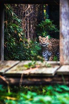 Panther, Leopard, Jaguar, Puma, Animal, Feline