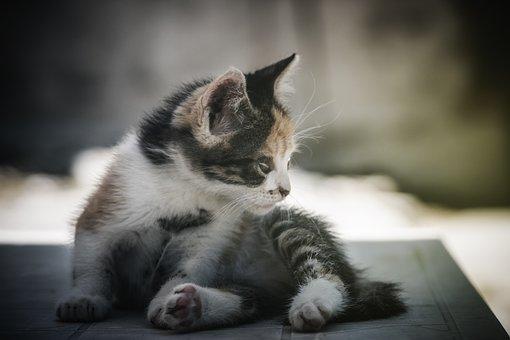 Kitten, Cat, Feline, Mammal, Animal, Portrait, Cute