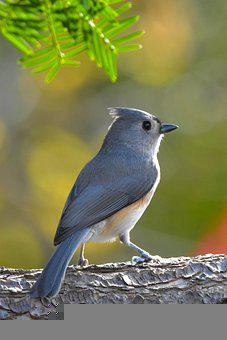 Tufted Titmouse, Bird, Log, Perched, Perched Bird