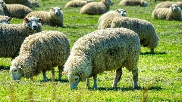 Sheep, Animals, Pasture, Flock, Wool, Ruminant, Mammals