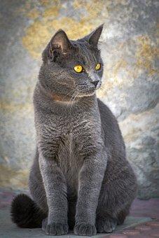 Cat, Pet, Portrait, Eyes, Feline