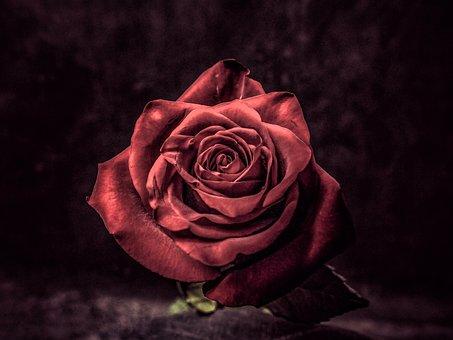 Rose, Flower, Blossom, Bloom, Red Rose, Red Flower