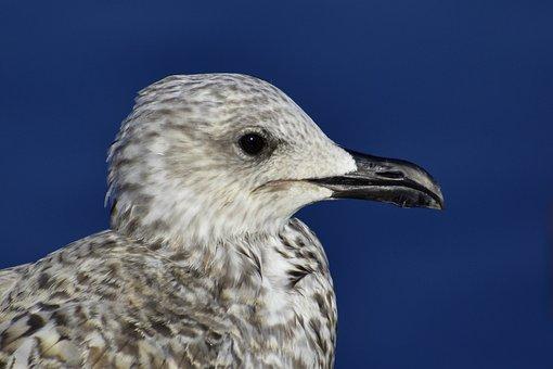 Seagull, Gull, Young, Bird, Animal