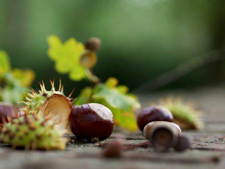 Chestnut, Acorn, Shell, Fall Foliage, Autumn