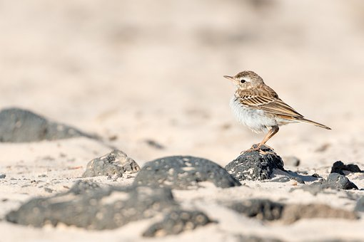 Pipit, Bird, Animal, Small Bird, Passerine Bird, Fauna