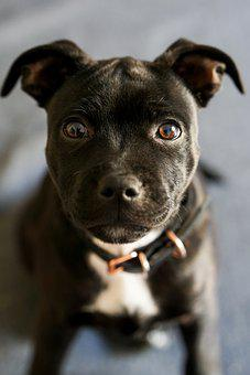 Dog, Staffordshire Bullterrier, Puppy, Canine, Pet