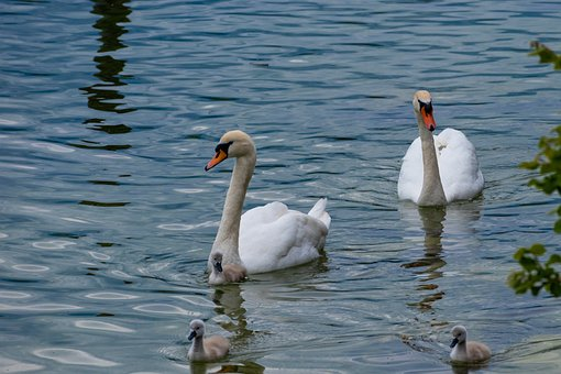 Lake, Swan, Family, Cygnet, Waterfowls, Water Birds