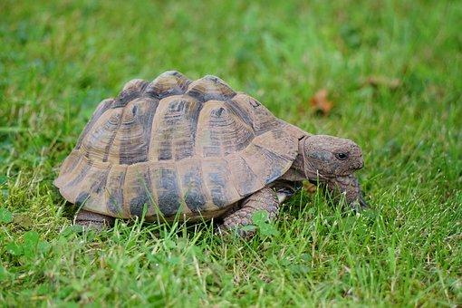 Tortoise, Animal, Reptile, Greek Tortoise
