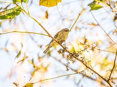 Warbler, Yellow-rumped Warbler, Migratory Bird