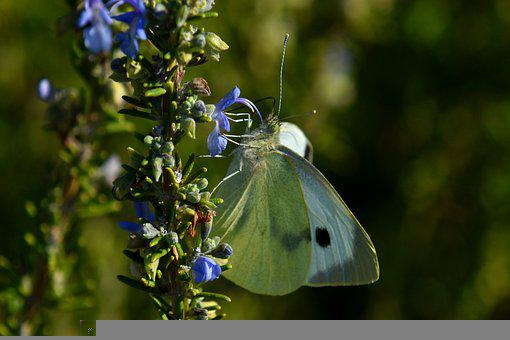 Butterfly, Insect, Flowers, White Butterfly