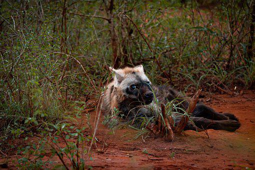 Hyena, Mammal, Animal, Animal World, Wild Animal