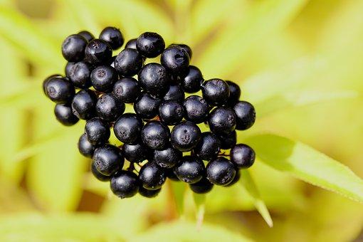 Berries, Fruit, Plant, Black Berries, Black Fruit