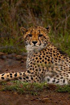 Cheetah, Wild Cat, Feline, Cat, Big Cat, Wild Animal