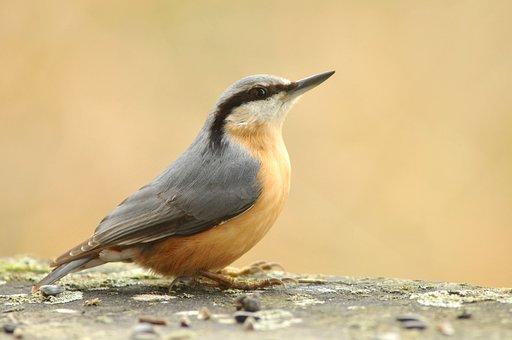 Eurasian Nuthatch, Bird, Small Bird, Sitta Europaea