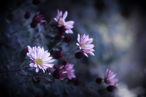 Asters, Flowers, Bloom, Blossom, Flora, Floriculture