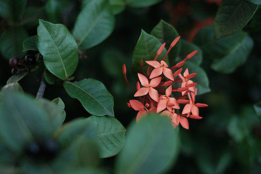 Jungle Geranium, Flowers, Plant, Buds, Leaves, Bloom