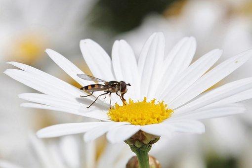 Hover Fly, Melangyna Viridiceps, Flower, Bloom, Blossom