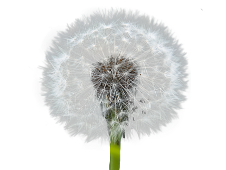 Dandelion, Blowball, Plant, Seed Head