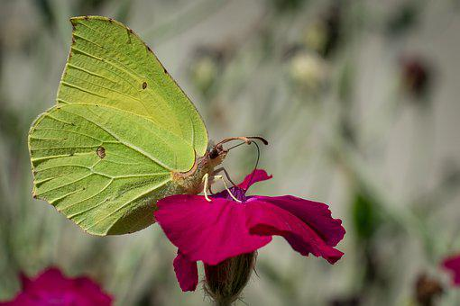 Butterfly, Insect, Flower, Common Brimstone, Animal