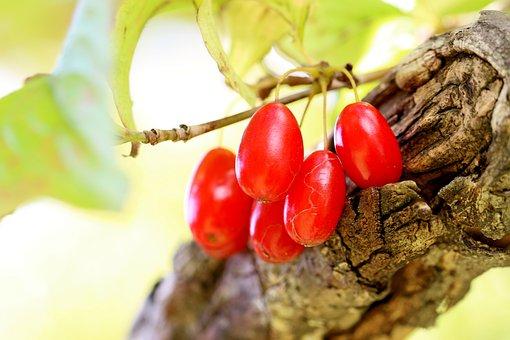 Cornus, Fruit, Plants, Leaves, Foliage, Branch