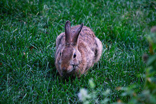 Rabbit, Bunny, Animal, Cottontail Rabbit, Wild Rabbit