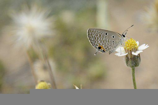 Butterfly, Flower, Meadow, Plains Cupid, Cycad Blue