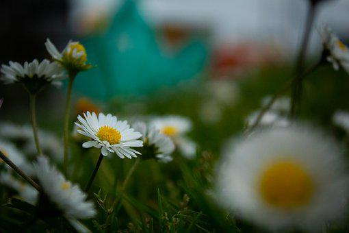 Daisies, Flowers, Meadow, Bloom, Blossom