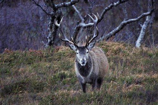Deer, Stag, Animal, Mammal, Wildlife, Fauna, Wilderness