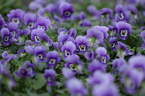 Flowers, Flora, Violets, Violins, Viola, Purple Violins